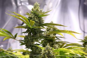 Build_the_best_basic_indoor_grow_setup_02-1024x682