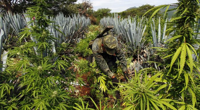 Cannabis-field-legalization-Mexico